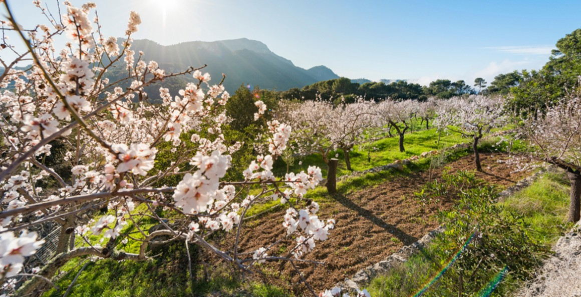 The beauty of almond blossom in Mallorca